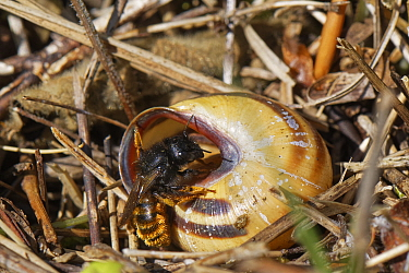 Two-coloured mason bee (Osmia bicolor) entering her nest in a Brown-lipped snail (Cepaeae nemoralis) shell on a chalk grassland slope, Bath and northeast Somerset, UK, May. The bee provisions the snai...