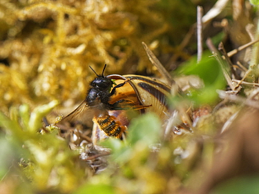 Two-coloured mason bee (Osmia bicolor) entering her nest in a Brown-lipped snail (Cepaeae nemoralis) shell with a chewed up leaf to seal a brood cell with after provisioning it with balls of pollen an...