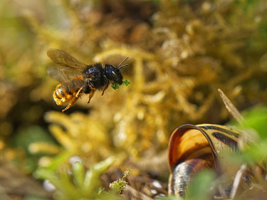 Two-coloured mason bee (Osmia bicolor) flying to her nest in a Brown-lipped snail (Cepaeae nemoralis) shell with a chewed up leaf to seal a brood cell with after provisioning it with balls of pollen a...