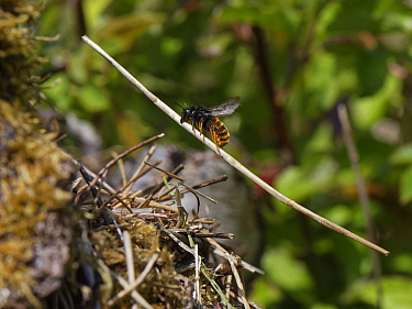Two-coloured mason bee (Osmia bicolor) flying in with a long, dried plant stem to add to a growing pile of vegetation camouflaging her nest in a Brown-lipped snail (Cepaeae nemoralis) shell on a chalk...
