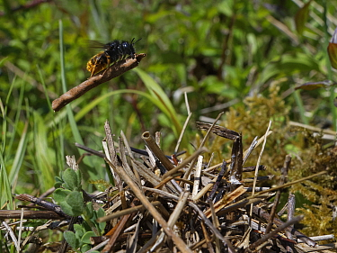 Two-coloured mason bee (Osmia bicolor) flying in with a stick to add to a growing pile of vegetation camouflaging her nest in a Brown-lipped snail (Cepaeae nemoralis) shell on a chalk grassland slope,...
