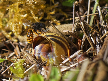 Two-coloured mason bee (Osmia bicolor) landing at her nest in a Brown-lipped snail (Cepaeae nemoralis) shell with a small stone to help seal it with on a chalk grassland slope, Bath and northeast Some...