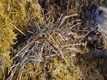 Pile of small sticks and dried leaves arranged by a Two-coloured mason bee (Osmia bicolor) to camouflage her nest in a Brown-lipped snail (Cepaeae nemoralis) shell on a chalk grassland slope, Bath and...