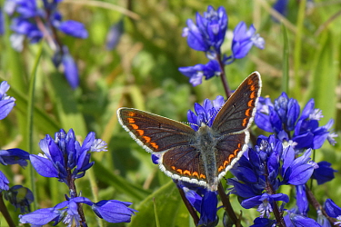 Brown argus (Aricia agestis) nectaring on Chalk milkwort flowers (Polygala calcarea) on a chalk grassland slope, Wiltshire, UK, May.