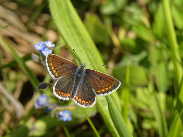 Brown argus (Aricia agestis) sunning on a chalk grassland slope, Wiltshire, UK, May