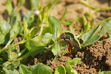 Painted cuckoo bee / Nomad bee (Nomada fucata) a parasite of solitary bees, emerging from the nest burrow of its host species, the Yellow-legged mining bee (Andrena flavipes), Wiltshire field margin,...