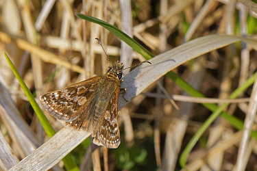 Dingy skipper (Erynnis tages) sunning on dried grasses on a chalk grassland meadow, Wiltshire, UK, April.