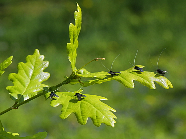 Green fairy longhorn moth (Adela viridella / Adela reaumurella) males clustered on English Oak (Quercus robur) tree leaves between bouts of aerial dancing in a group courtship display, Bath and Northeast Somerset, UK, May.