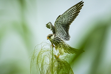 Amur falcon (Falco amurensis) female perched during migration , Nagaland, India.