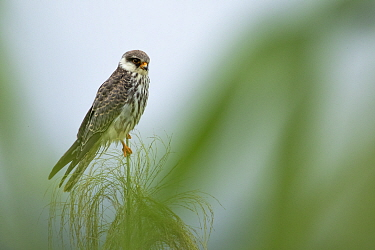 Amur falcon (Falco amurensis) female perched during migration , Nagaland, India.