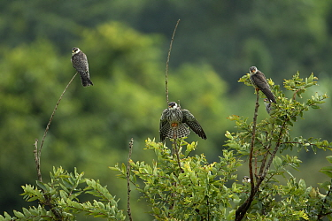 Amur falcon (Falco amurensis) perched at roost site during migration , Nagaland, India.