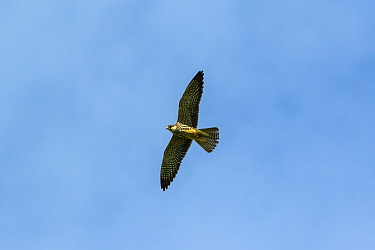 Amur falcon (Falco amurensis) female flying during migration , Nagaland, India.