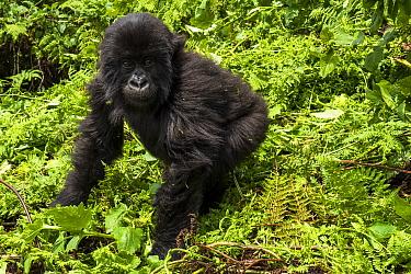 Easter gorilla (Gorilla beringei) infant, Volcanoes National Park, Rwanda.