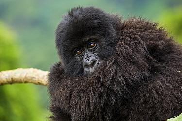 Gorilla (Gorilla beringei) resting, Volcanoes National Park, Rwanda