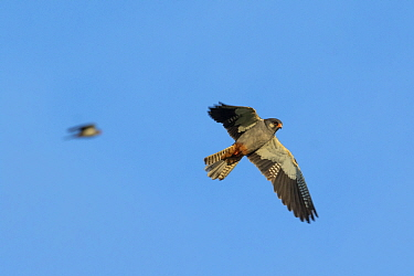 Amur falcon (Falco amurensis) male flying at roost site during migration , Nagaland, India.