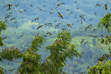 Amur falcon (Falco amurensis) flock in flight, at roost site during migration , Nagaland, India.