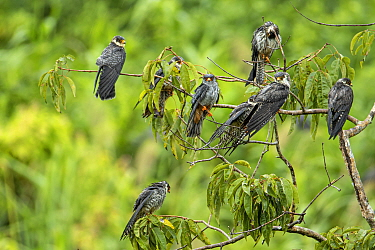 Amur falcon (Falco amurensis) flock perched in tree, at roost site during migration , Nagaland, India.