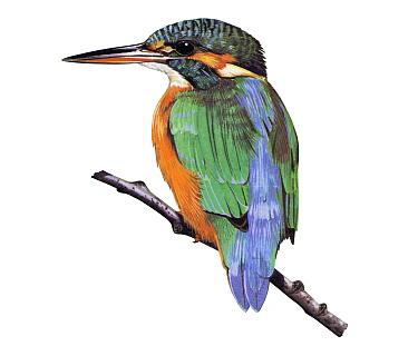 Illustration of Kingfisher (Alcedo atthis)