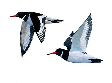 Illustration of Oystercatcher (Haematopus ostralegus)