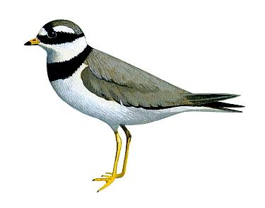 Illustration of Ringed Plover (Charadrius hiaticula)