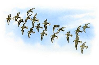 Illustration of Dunlin (Calidris alpina)