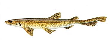 Illustration of Dogfish (Scyliorhinus caniculus)