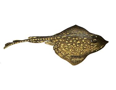 Illustration of Thornback ray (Raja clavata)