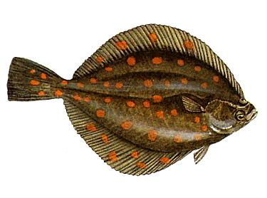 Illustration of Plaice / Flatfish (Pleuronectes platessa)