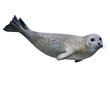 Illustration of Common seal (Phoca vitulina)
