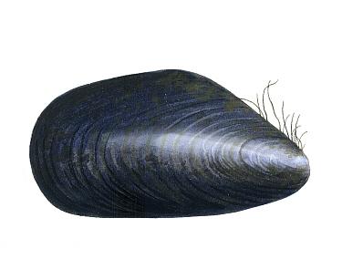 Illustration of Common Mussel (Mytilus edulis)