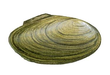 Illustration of Depressed mussel (Anadonta complanata)
