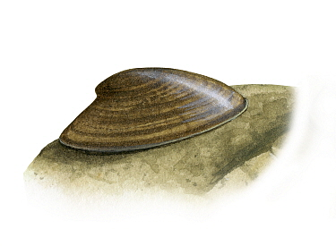 Illustration of Freshwater limpet (Acroloxus lacustria)