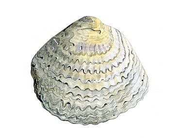 Illustration of Common oyster (Ostrea edulis)