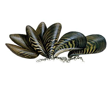 Illustration of Zebra mussel (Dreissena polymorpha)