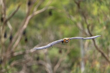Grey-headed flying-fox (Pteropus poliocephalus) flying.??Yarra Bend Park, Kew, Victoria, Australia.?April 2019.
