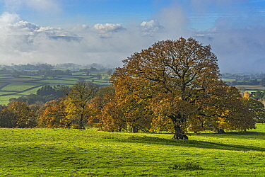 Oak trees (Quercus robur) in autumn in the Vale of Clwyd with morning mist clearing in the background North Wales, UK, November 2019.