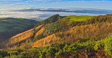 View of forest on the western slope of Pennycloddiau Mountain in the Clwydian Range in morning light with low cloud streaming down the Vale of Clwyd in the background, North Wales, UK .November 2019
