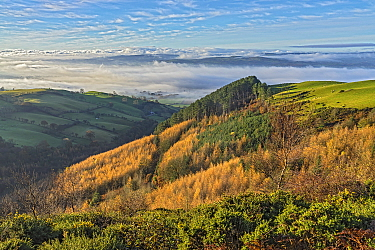 View of forest on the western slope of Pennycloddiau Mountain in the Clwydian Range in morning light with low cloud streaming down the Vale of Clwyd in the background North Wales UK November 2019.