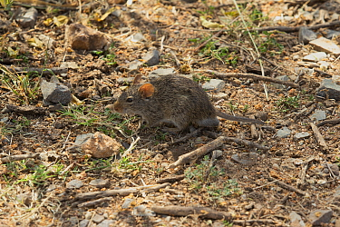 African grass rat (Arvicanthis niloticus) foraging at the base of some aloe plants. Serengeti, Tanzania