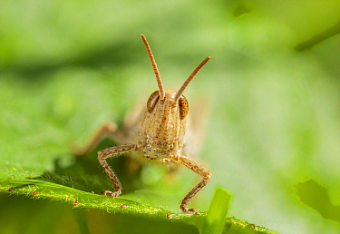 Field grasshopper (Chorthippus brunneus) nymph, Bristol UK, July, Focus stacked