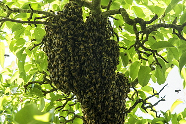 Swarm of Honey bees (Apis mellifera) clustered in branches of Pear tree, garden, Bristol, UK, May .
