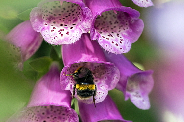 Bumblebee (Bombus terrestris) visiting flowers of Foxglove (Digitalis purpurea) garden, Bristol, UK, June.