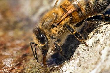 Honey bee (Apis mellifera) drinking water from stone bird bath, garden, Bristol, UK, May.