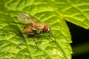 Stable fly, (Coenosia tigrina) Catbrook, Monmouthshire, Wales, UK., July.