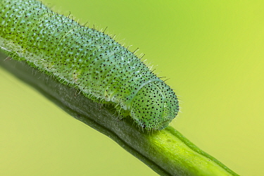 Orange-tip caterpillar, (Anthocharis cardamines), on Garlic mustard (Alliaria petiolata), one of its foodplants.