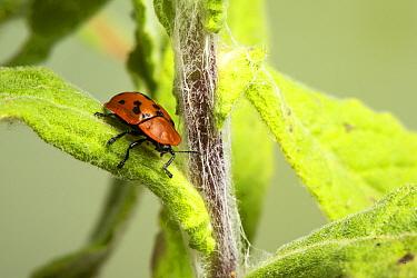Fleabane Tortoise Beetle, (Cassida murraea), North Monmouthshire, Wales.