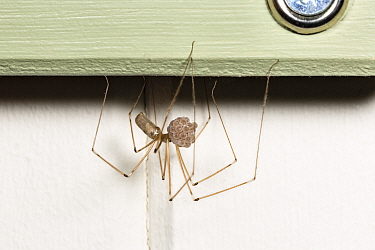 Cellar Spider (Pholcus phalangioides) carrying eggs. Catbrook, Monmouthshire, Wales, UK.