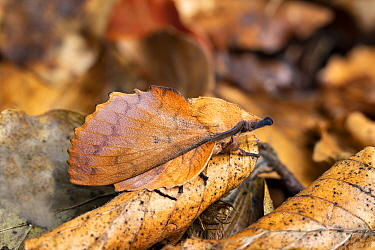 Lappet moth, (Gastropacha quercifolia), camouflaged among dead leaves. Monmouthshire, Wales.