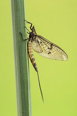 Mayfly, (Ephemera danica), Catbrook, Monmouthshire, Wales, UK.
