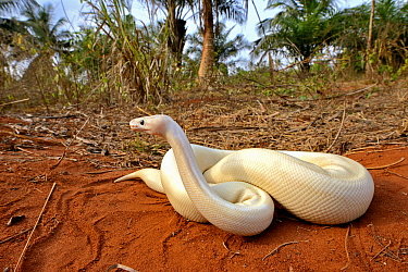 Ball or Royal python (Python regius), leucistic form on sand, Togo. Controlled conditions.
